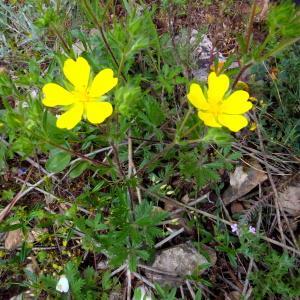 Photographie n°2210260 du taxon Potentilla L.