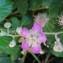 Bernard Sudan - Rubus ulmifolius Schott [1818]