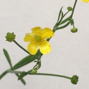 Photographie n°2210460 du taxon Ranunculus flammula L. [1753]