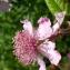 Anne-Marie Jegou - Rubus ulmifolius Schott [1818]
