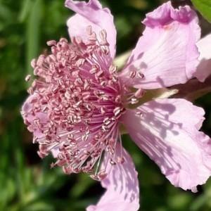 Rubus ulmifolius Schott [1818] (Ronce à feuilles d'orme)