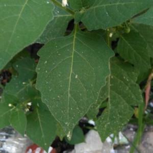 Photographie n°2210577 du taxon Solanum americanum Mill. [1768]