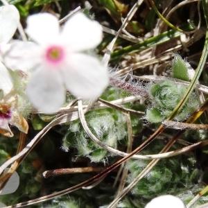 Photographie n°2210676 du taxon Androsace villosa L. [1753]
