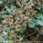 Florent Beck - Rubus ulmifolius Schott [1818]
