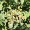 - Rubus ulmifolius Schott [1818]
