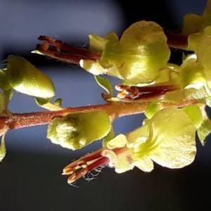 Photographie n°2211290 du taxon Teucrium scorodonia subsp. scorodonia
