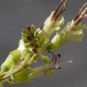 Photographie n°2211291 du taxon Teucrium scorodonia subsp. scorodonia