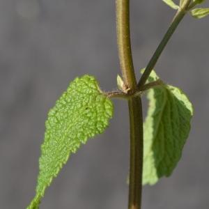 Photographie n°2211292 du taxon Teucrium scorodonia subsp. scorodonia