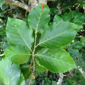 Photographie n°2211327 du taxon Fagus sylvatica L.