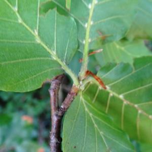 Photographie n°2211346 du taxon Fagus sylvatica L.