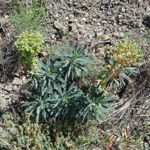Photographie n°2211545 du taxon Euphorbia characias subsp. characias