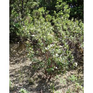 Cistus laurifolius L. subsp. laurifolius (Ciste à feuilles de laurier)