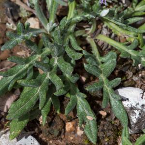 Photographie n°2211647 du taxon Jurinea humilis (Desf.) DC. [1838]