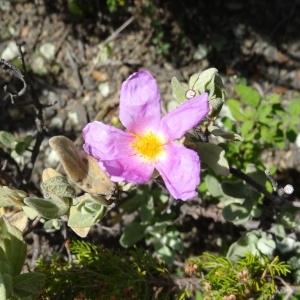 Photographie n°2211669 du taxon Cistus albidus L. [1753]