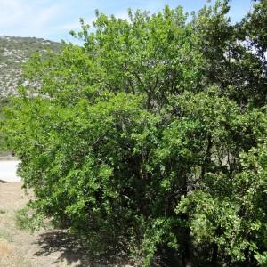 Photographie n°2211677 du taxon Acer monspessulanum L. [1753]