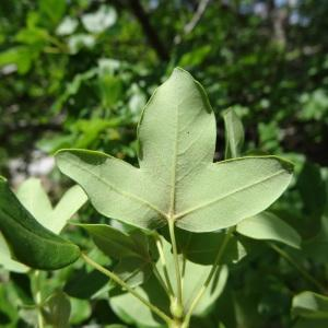 Photographie n°2211682 du taxon Acer monspessulanum L. [1753]