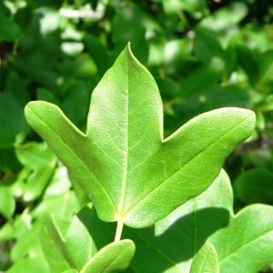 Photographie n°2211683 du taxon Acer monspessulanum L. [1753]
