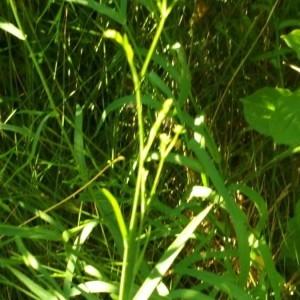 Photographie n°2211918 du taxon Clinopodium vulgare L. [1753]