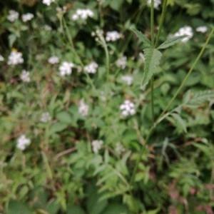Photographie n°2212388 du taxon Torilis japonica (Houtt.) DC. [1830]