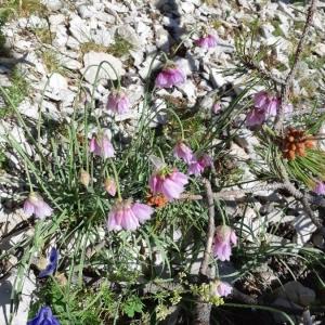 Photographie n°2212515 du taxon Allium narcissiflorum Vill. [1779]