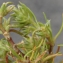 Liliane Roubaudi - Scleranthus uncinatus Schur [1850]