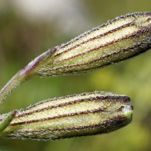 Silene ciliata Pourr. [1788] (Silène cilié)