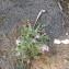 Matthiola tricuspidata (L.) R.Br. [nn1103] par Christiane Kanitzer le 24/04/2018 - Νομός Δωδεκανήσου