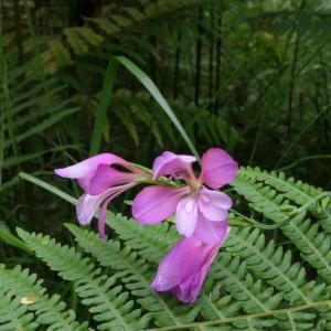 Photographie n°2212925 du taxon Gladiolus communis L. [1753]