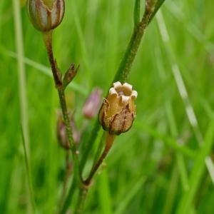 Photographie n°2212946 du taxon Lychnis flos-cuculi L. [1753]