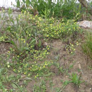 Photographie n°2213096 du taxon Trifolium campestre Schreb. [1804]