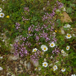 Photographie n°2213233 du taxon Saponaria ocymoides L.