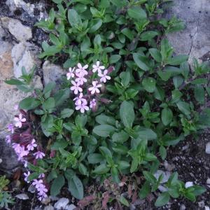 Photographie n°2213332 du taxon Saponaria ocymoides L.