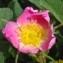 Yves Bas - Rosa rubiginosa L. [1771]