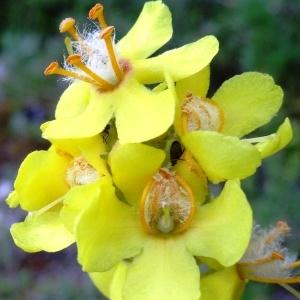 Photographie n°2213901 du taxon Verbascum pulverulentum Vill.