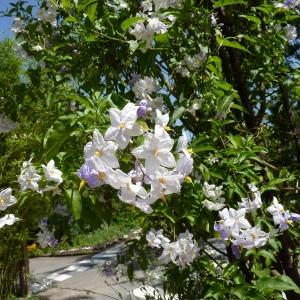 Photographie n°2214206 du taxon Solanum jasminoides Paxton