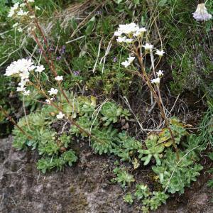 Photographie n°2214424 du taxon Saxifraga paniculata Mill.