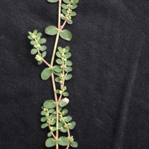 Photographie n°2214512 du taxon Euphorbia prostrata Aiton
