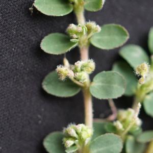 Photographie n°2214525 du taxon Euphorbia prostrata Aiton