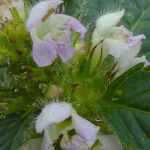 Photographie n°2214641 du taxon Galeopsis tetrahit L.