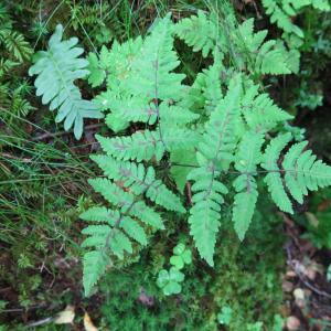 Photographie n°2214813 du taxon Gymnocarpium dryopteris (L.) Newman [1851]