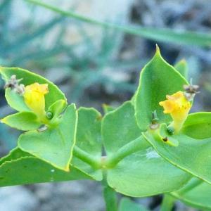 Photographie n°2215020 du taxon Euphorbia serrata L. [1753]