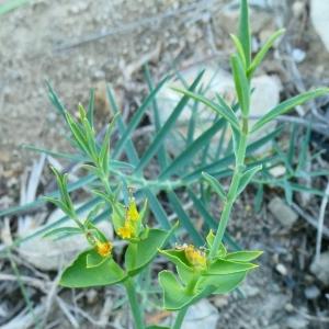 Photographie n°2215021 du taxon Euphorbia serrata L. [1753]