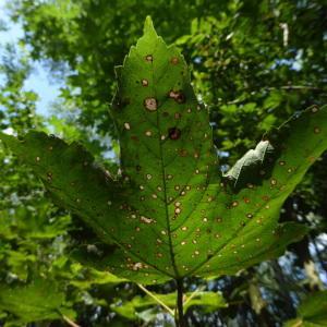 Photographie n°2215452 du taxon Acer L.