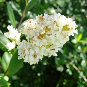 Photographie n°2215756 du taxon Ligustrum vulgare L. [1753]