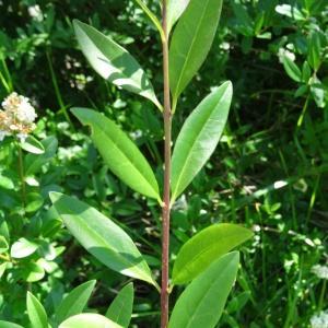 Photographie n°2215757 du taxon Ligustrum vulgare L. [1753]