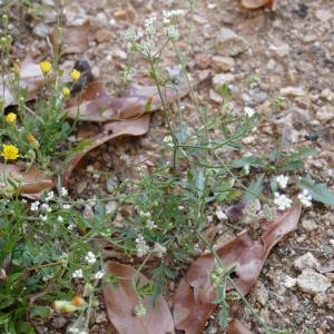 Photographie n°2216028 du taxon Torilis du Japon