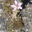Erodium cicutarium (L.) L'Hér. [nn25064] par Christine Jourdan le 18/07/2018 - Beaumont