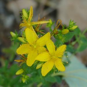 Photographie n°2216057 du taxon Hypericum perforatum L.