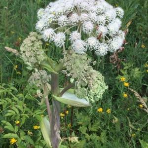 Photographie n°2216085 du taxon Angelica sylvestris L. [1753]