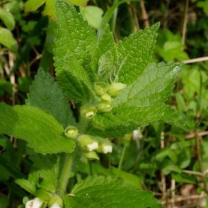 Photographie n°2216213 du taxon Melittis melissophyllum L. [1753]